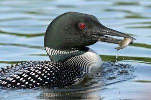 Adirondack wildlife: loon