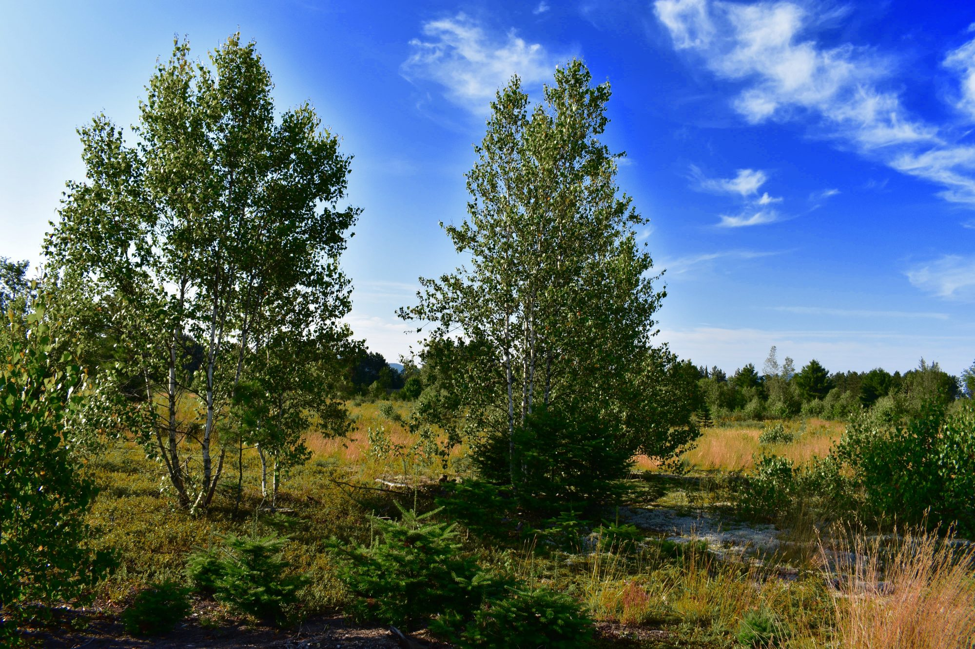 Wild Blueberry Bushes For Sale