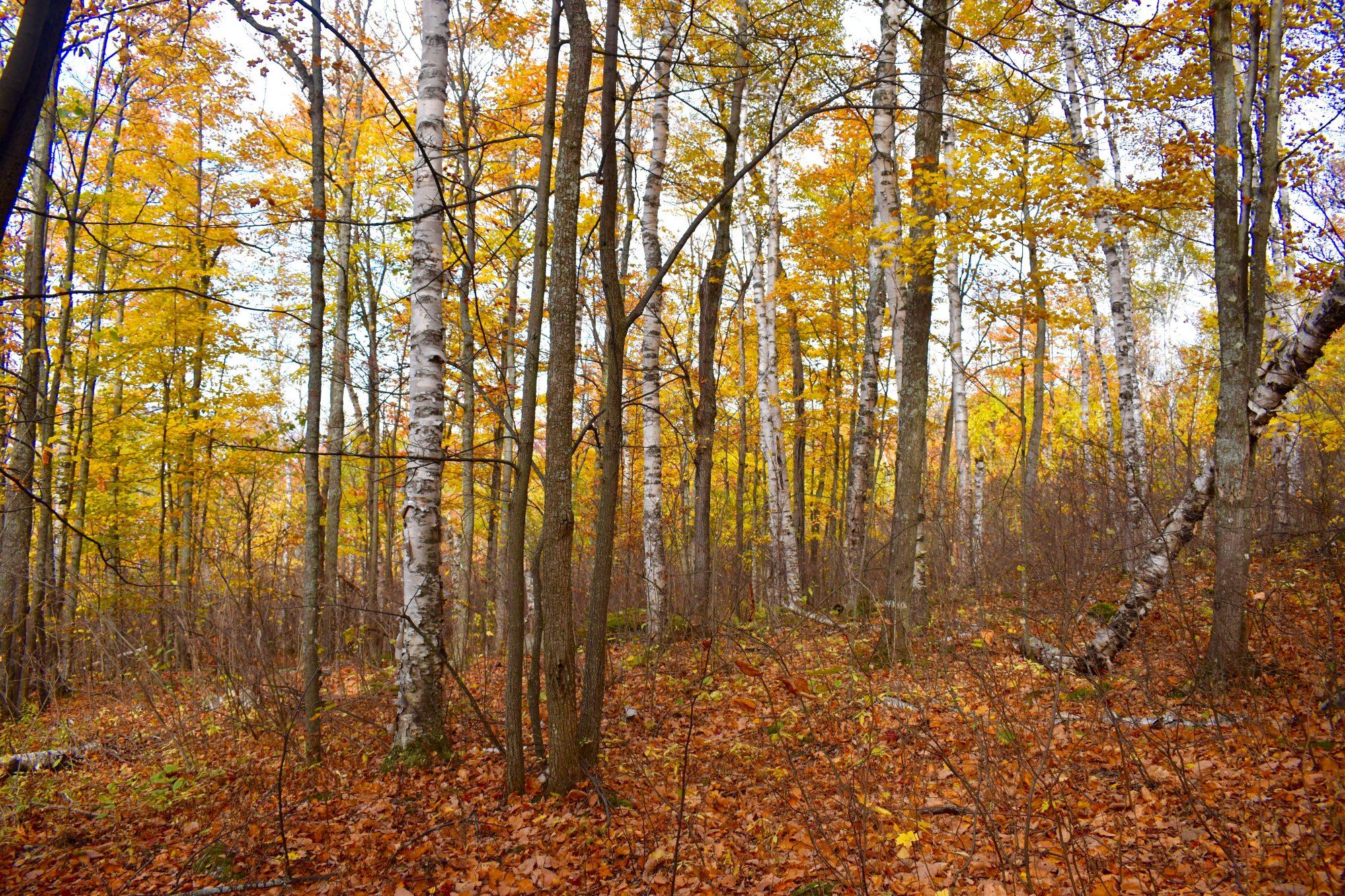 White birch and maple