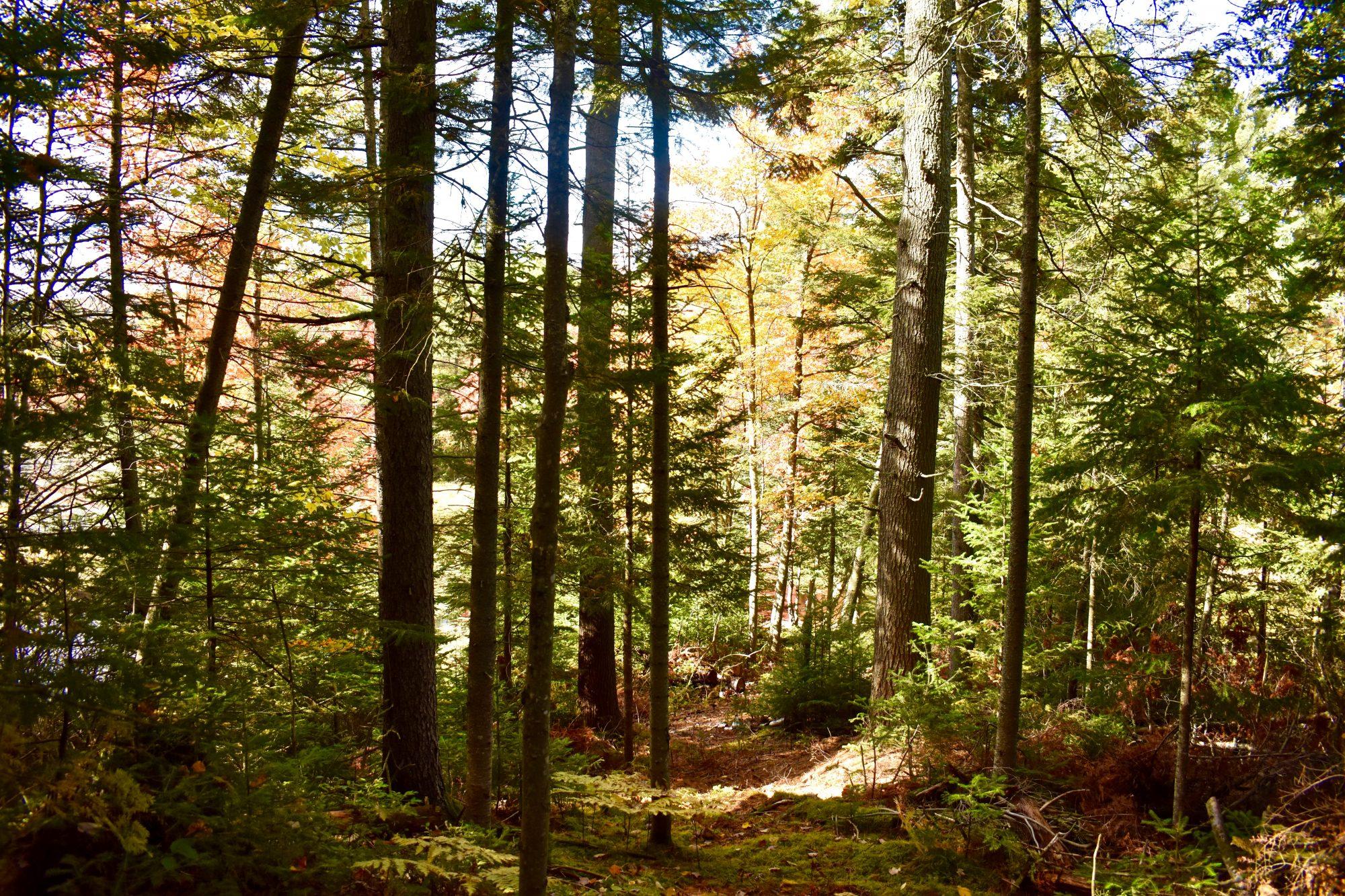 Pine-stream