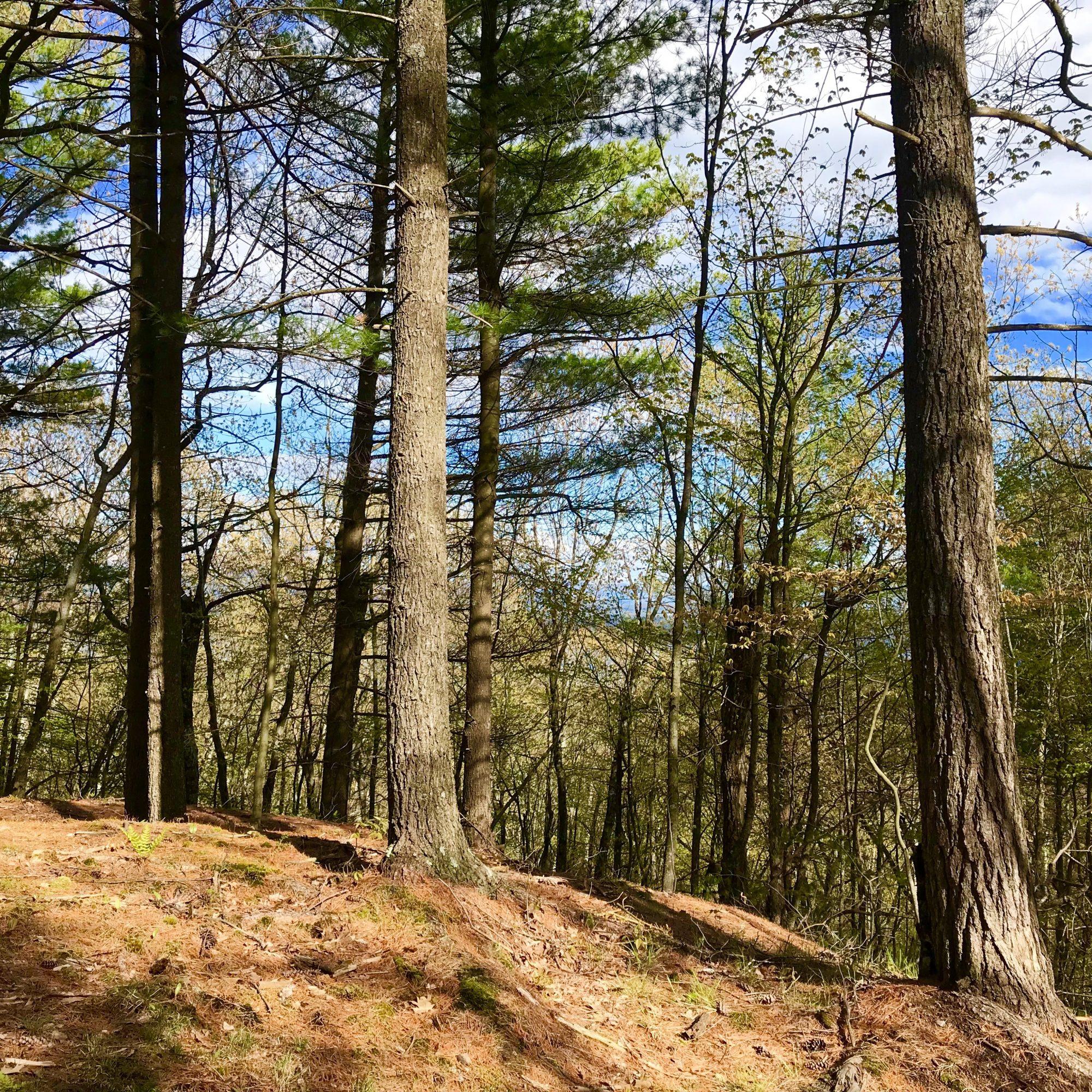 Pine Knoll (1)