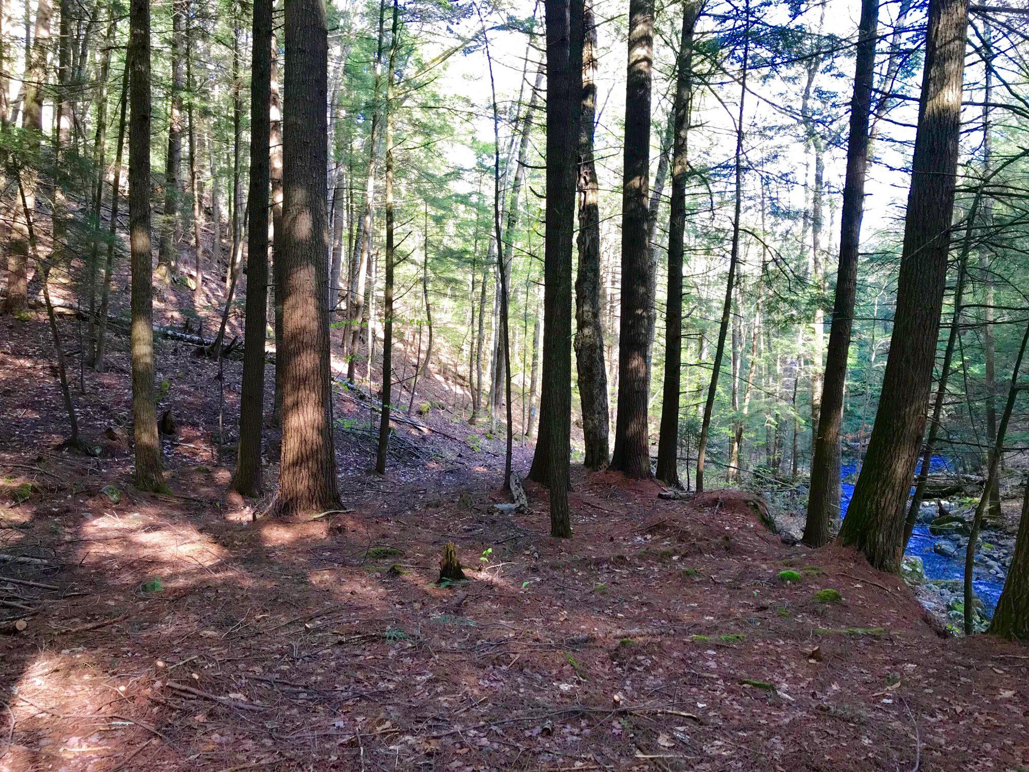 pine along brook-nice