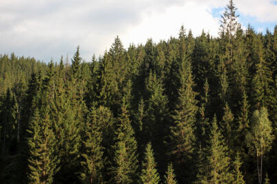 Forest of Conifer Trees